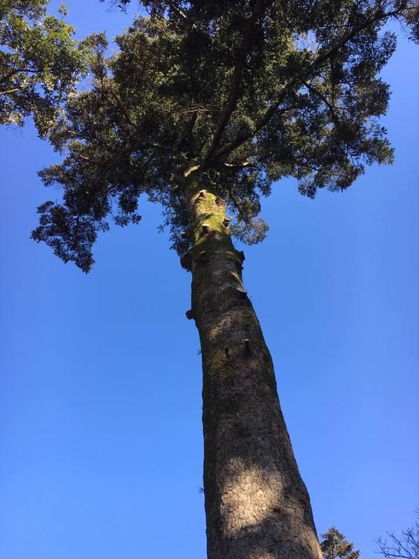 幹直径1.3m 立派なモミの木の伐採のサムネイル