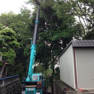 約25mの木を4~5本伐採